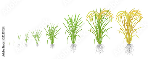 Fotografie, Obraz Growth stages of rice plant