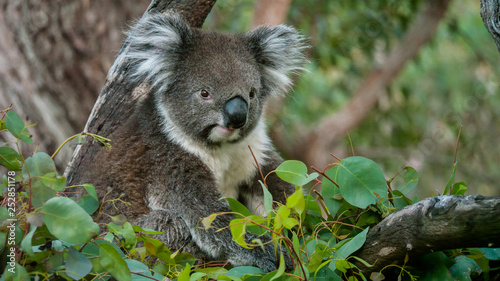 Canvas Prints Koala Koala bear in eucalyptus tree, portrait