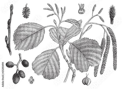 Black Alder (Alnus glutinosa) / vintage illustration from Meyers Konversations-L Wallpaper Mural