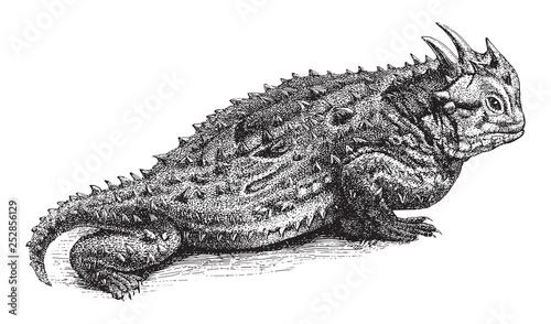 Slika na platnu Texas horned lizard (Phrynosoma cornutum) / vintage illustration from Meyers Kon
