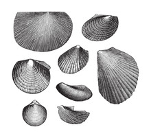 Fossil Shell (Triassic Period)...