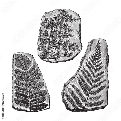 Fototapeta Fern fossils / Vintage illustration from Meyers Konversations-Lexikon 1897