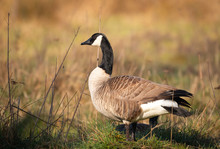 Greater Canada Goose In A Field
