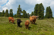 Scottish Highland Cattle On A Grassland, Alm, Tyrol, Austria