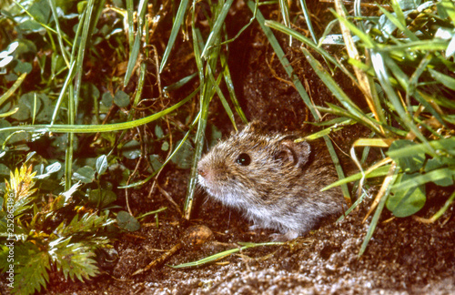 Fotomural  common vole looking out of burrow, close