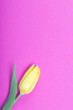 canvas print picture - Spring flowers. One yellow tulip on a fuchsia background.