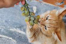 Funny Fluffy Red Cat Sniffs And Bites A Bunch Of Green Grapes