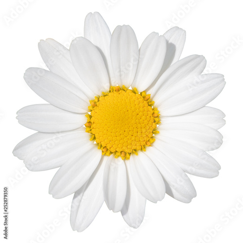 In de dag Madeliefjes Lovely white Daisy (Marguerite) isolated on white background, including clipping path. Germany