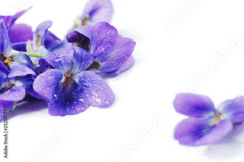 Purple Violet Viola Flower against white background with space for text.