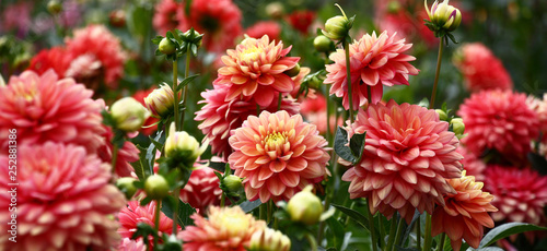 Fotografia, Obraz In a flower bed a considerable quantity of flowers dahlias with petals in various tones of pink color