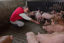 Farmer Inside A Pig Farm, Pett...