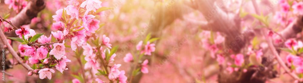 Fototapety, obrazy: background of spring blossom tree with pink beautiful flowers. selective focus
