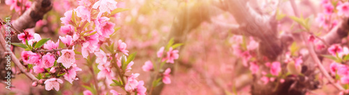 La pose en embrasure Zen background of spring blossom tree with pink beautiful flowers. selective focus