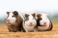 Three Lovely Guinea Pigs On Th...