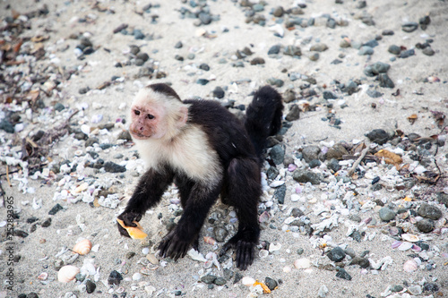 Fotografia, Obraz  The white faced capuchin, also known as the white headed capuchin is a medium si