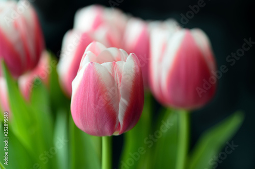 Fototapety, obrazy: Bouquet of beautiful pink tulips on a black background close-up