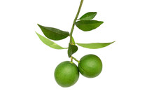 Fresh Green Limes On A Branch ...