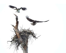 Pair Of Osprey Fly From Their Nest After Being Spooked On A Cloudy Overcast Day