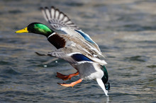 Mallard Duck Landing On The Co...
