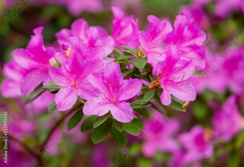 Tuinposter Azalea Azalea (Rhododendron) flowers. Spring landscape. Beautiful fresh bouquet of flowers. Botanical garden. Summer mood.