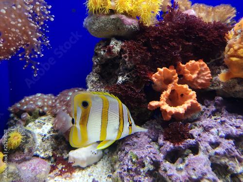 Staande foto Koraalriffen Copperband Butterflyfish