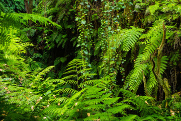 Laurisilva forest in La Palma, Canary Islands, Spain