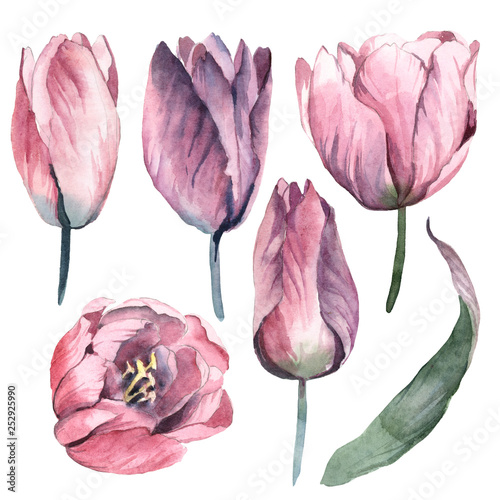 Fotografie, Obraz  Watercolor gentle pink flowers of tulip with green leaves on white background