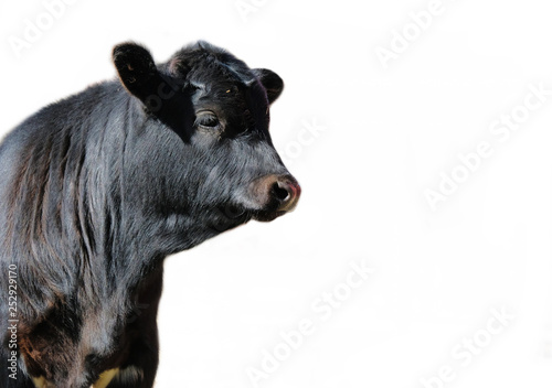 Photo Cute black Angus calf isolated on white background for agriculture concept