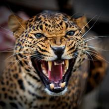 Close Up Young Leopard Portrait