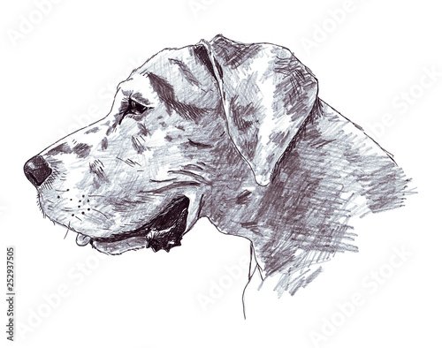 Fototapeta A sketch of the head of a great dane made with a pen and pencil obraz