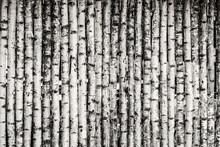 Birch Fence Background