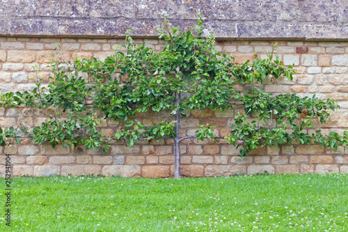 Espalier training apple tree on a lime stone wall in front of green grass, English summer garden Wallpaper Mural