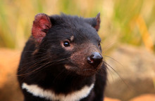 Tasmanian Devil Portrait