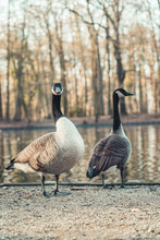 Two Canada Geese At A Small Po...