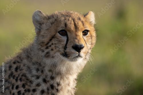 Fotografie, Obraz  cheetah cub portrait