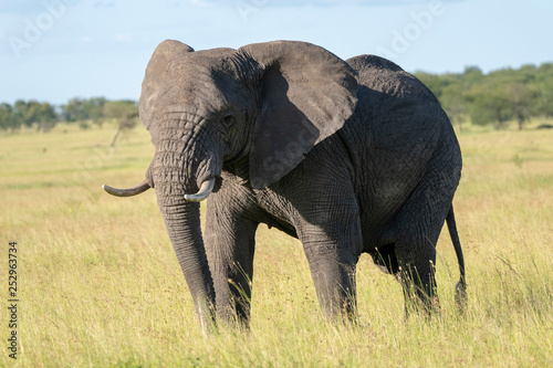 Photo  elephant in the grass
