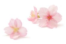 桜 花 春 白 背景