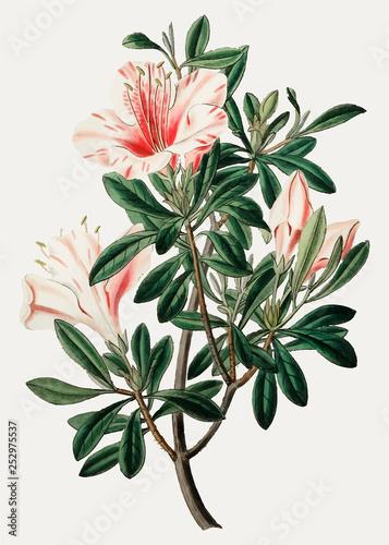 Chinese azalea Canvas Print