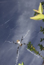 Argiope Argentata On Web With ...