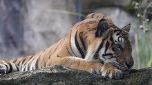 A Tiger Male, Lying And Calm L...