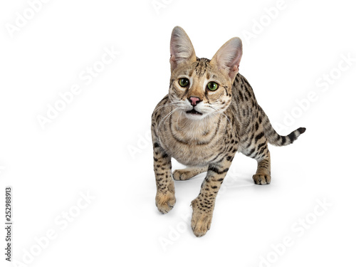 Foto op Plexiglas F1 Cool young adult Savannah F1 cat, ready to jump. Looking straight ahead beside camera with green eyes. Isolated on white background.