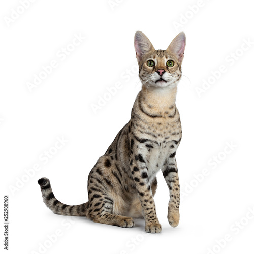Recess Fitting F1 Cool young adult Savannah F1 cat, sitting half side ways facing front. Looking above camera with green eyes. Isolated on white background. One paw lifted from ground. Tail behind body.