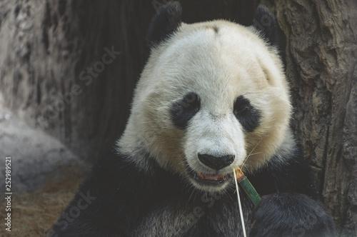 Valokuva  Panda