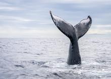 Humpback Whale Vertical Tail Breach