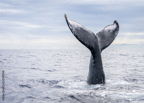 Fotografie, Obraz  Humpback Whale Vertical Tail Breach