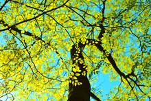 Green Leaves Background - Amer...