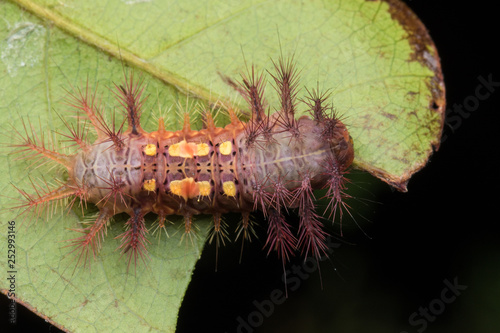 Fotografía  beautiful caterpillar on green leaves isolated on black