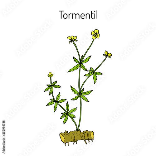 Tormentil Potentilla erecta , medicinal plant Canvas-taulu