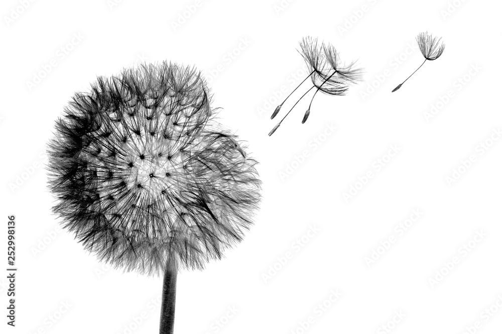 Fototapety, obrazy: Black bloom head Dandelion flower with flying seeds in wind isolated on white background.