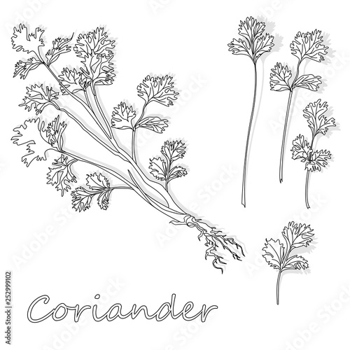 Fototapeta Fresh coriander or cilantro herb. Vector illustration isolated. Monochrome. obraz na płótnie